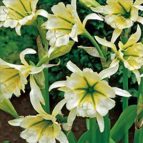 "Hymenocallis ""Sulfur Queen, Peruvian Daffodil"""