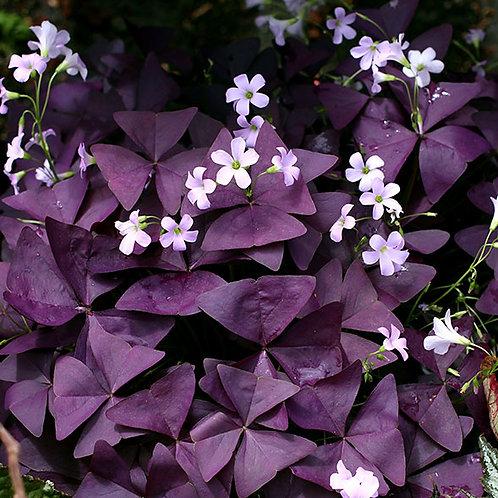 Oxalis regnellii var. triangularis