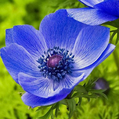 "Anemone, ""Blue Poppy"""