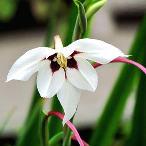 Gladiolus callianthus: