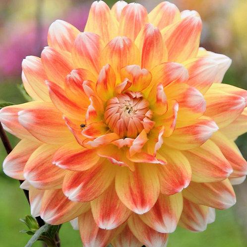Dahlia 'Peaches & Cream'