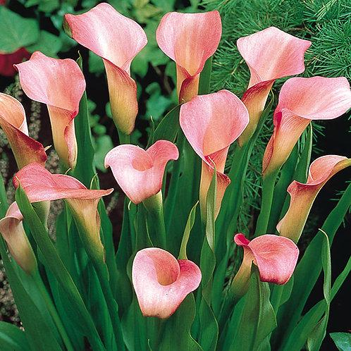 Zantedeschia rehmannii Pink Calla Lily