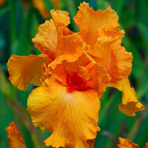 Iris germanica Orange