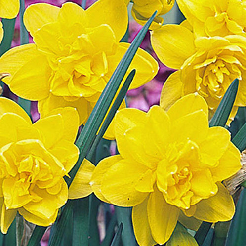 Narcissus 'Golden Ducat'