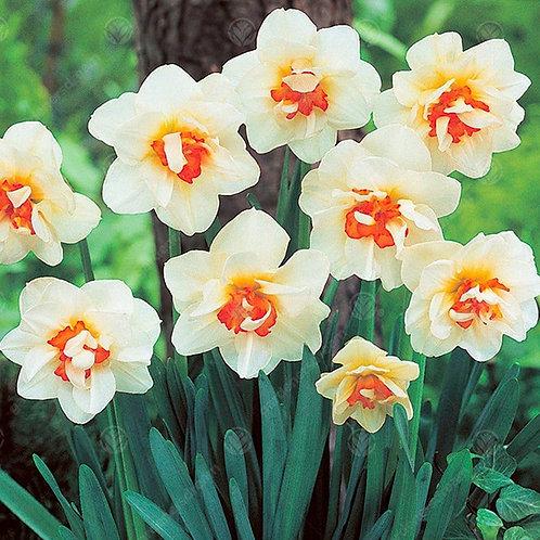 Narcissus 'Flower Drift'