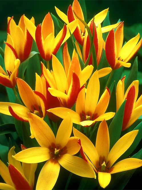 Tulip - Clusiana Varigated Chrysantha