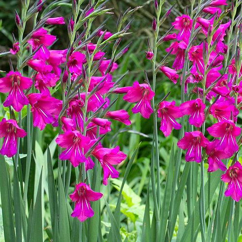 Gladiolus specie byzantinus
