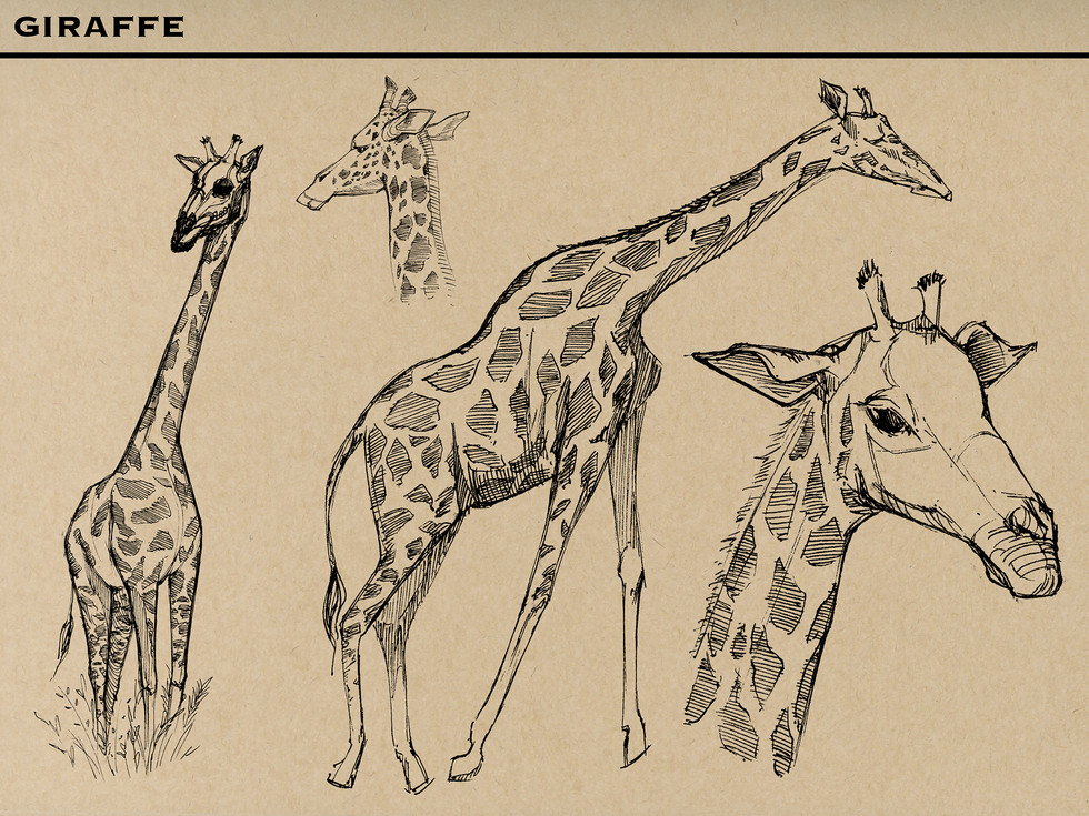 Giraffes M.jpg