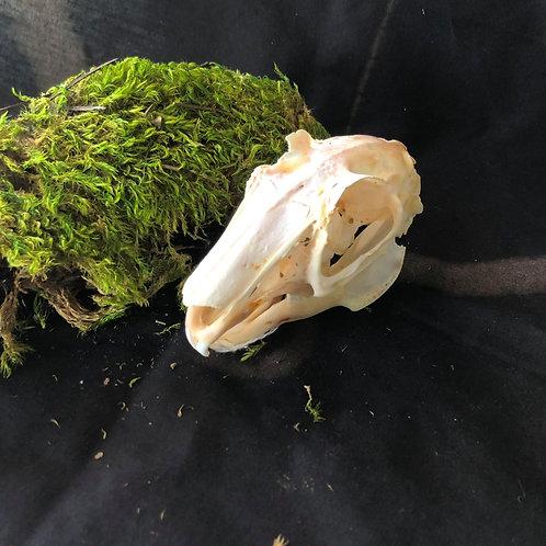 Jackrabbit Skull