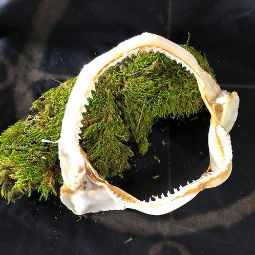 Shark Jaw