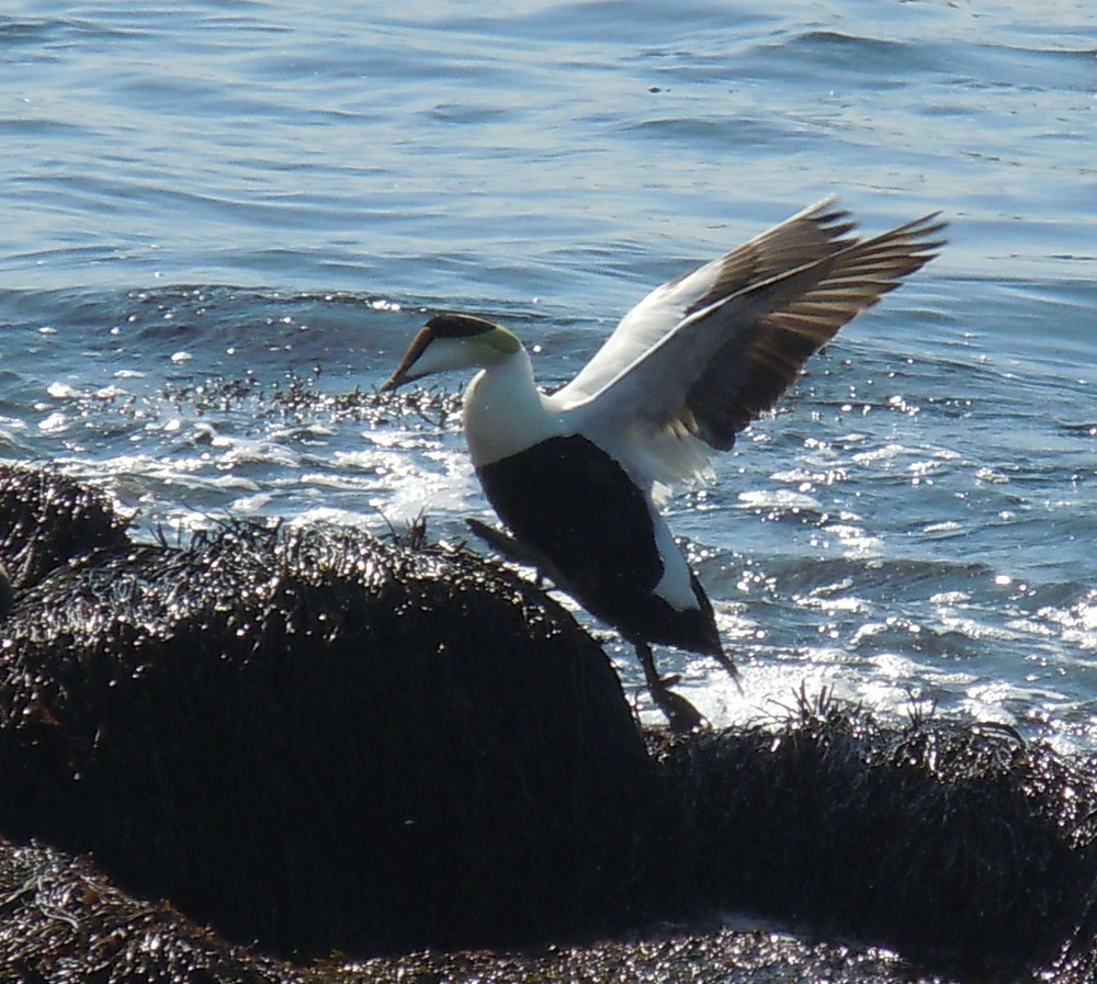 Belly-up Eider.JPG