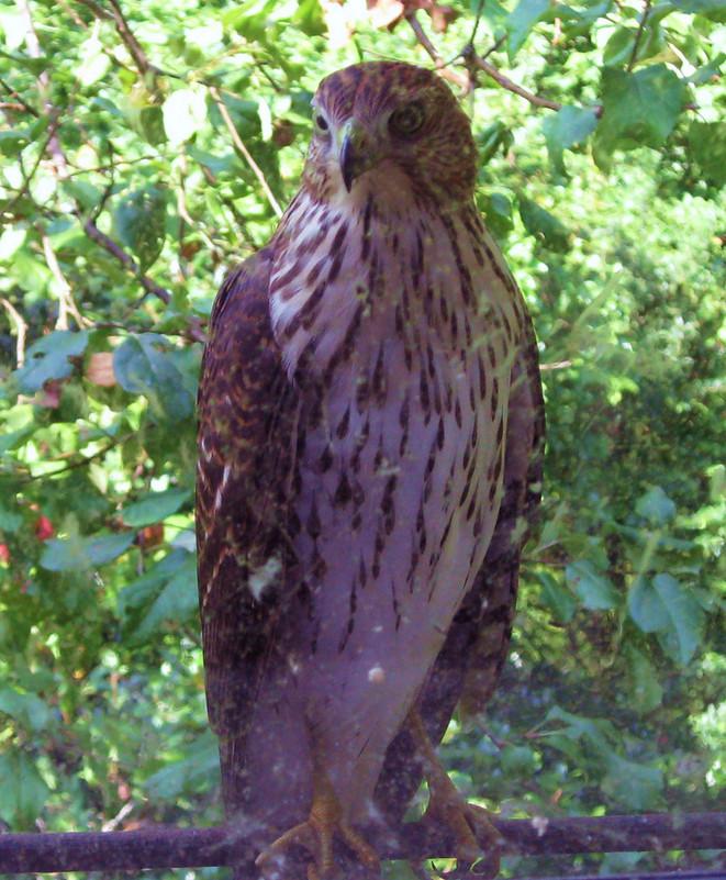 Cooper's Hawks of Peaks Island