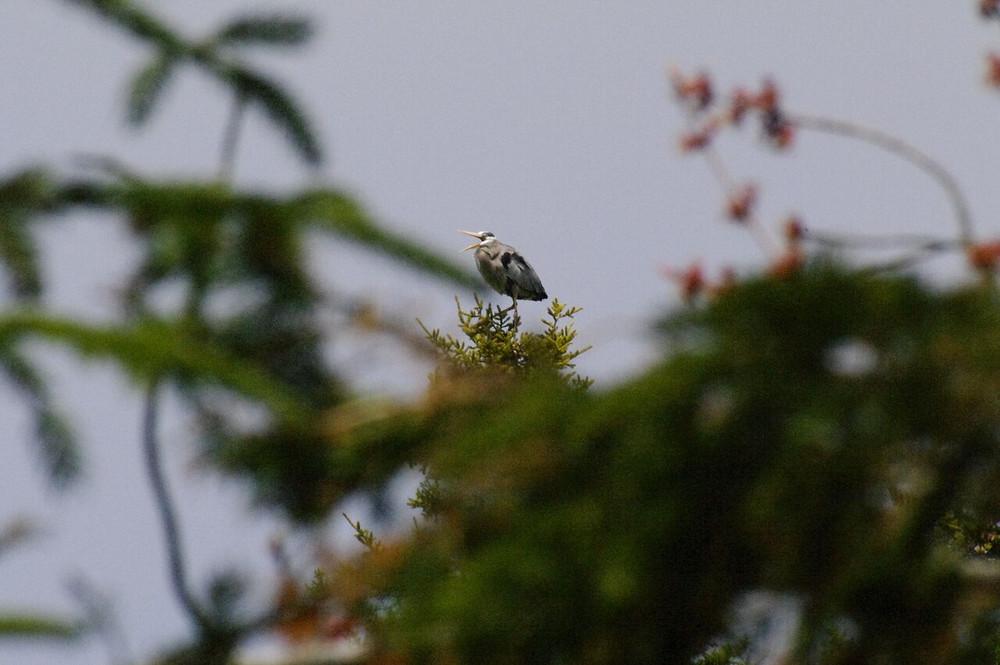Butch's Great Blue Heron 3.jpg