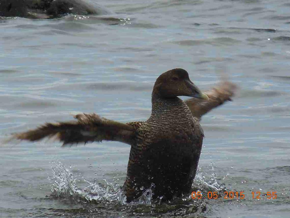 Bathing female eider 8.JPG