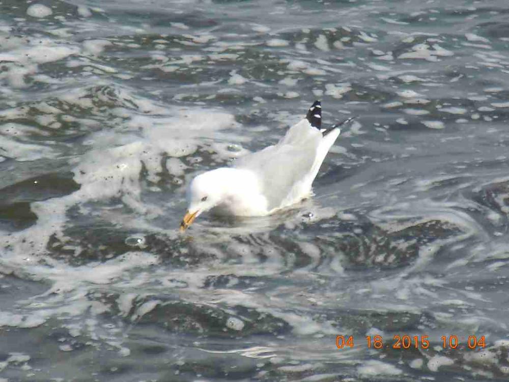 6 Ring-billed gull 3.JPG