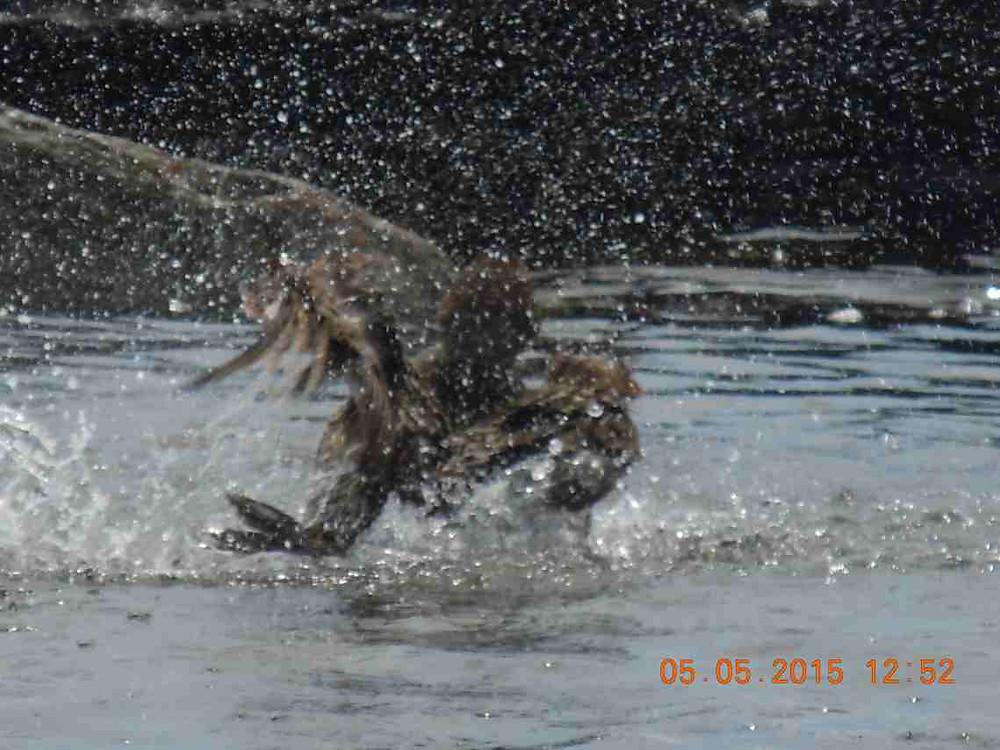 Bathing female eider 3.JPG