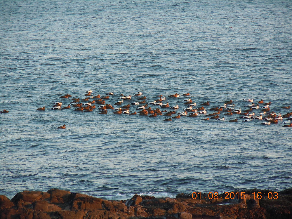 Common Eider flock.JPG