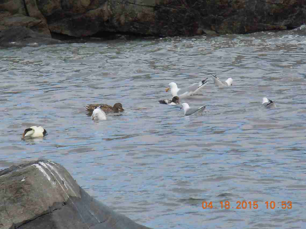 6 Ring-billed gull 4.JPG
