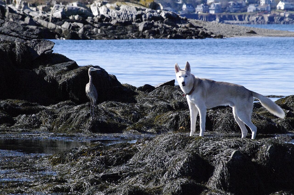 Butch's Great Blue Heron and dog.jpg
