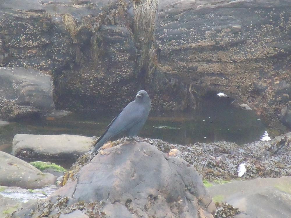 American Crow.JPG