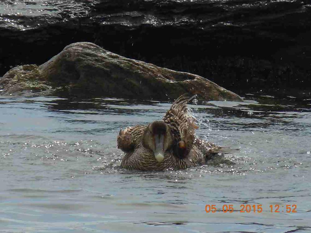 Bathing female eider 5.JPG