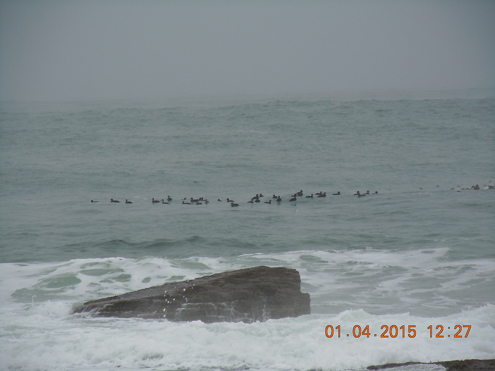 Black Scoters next to Common Eiders.JPG