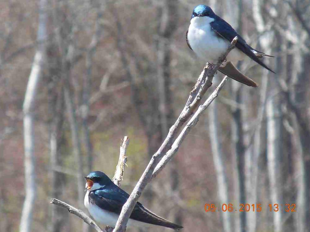 Tree Swallows 3*.JPG