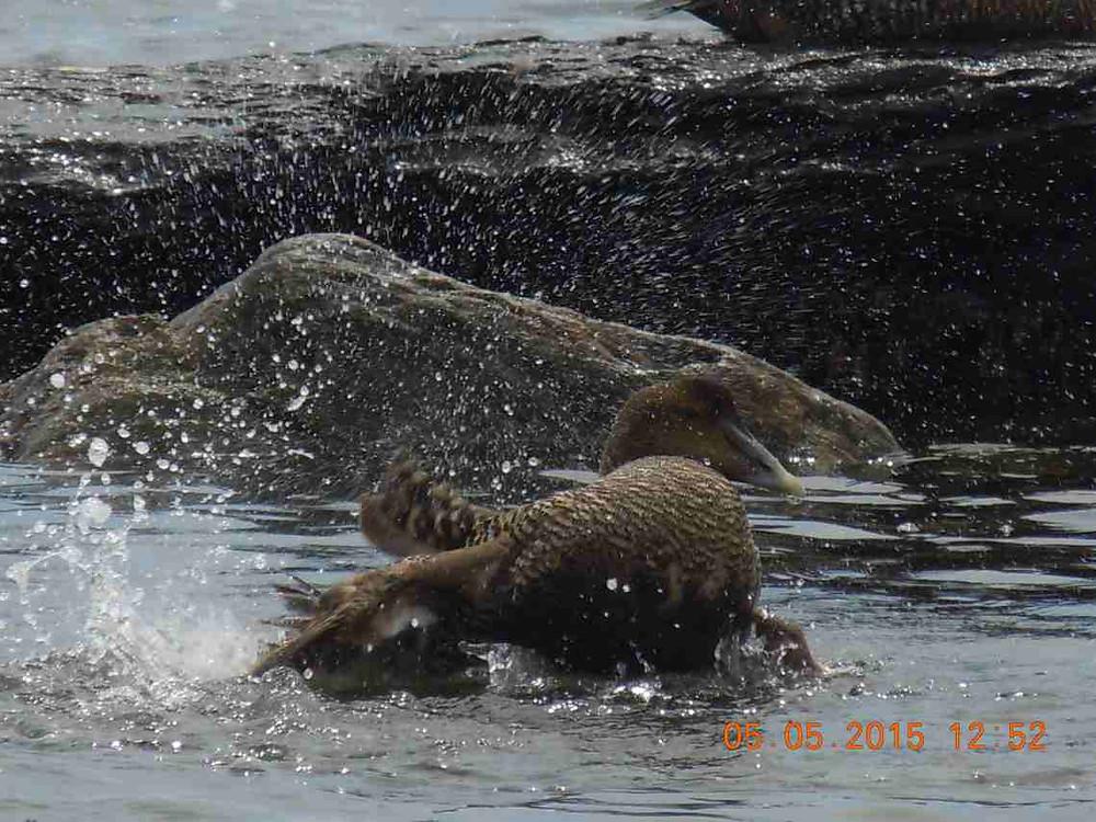 Bathing female eider 4.JPG