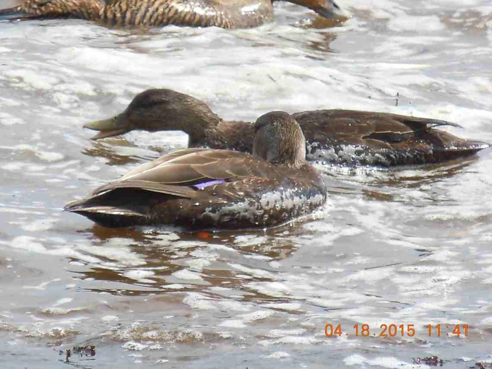 3 Black Ducks 1.JPG