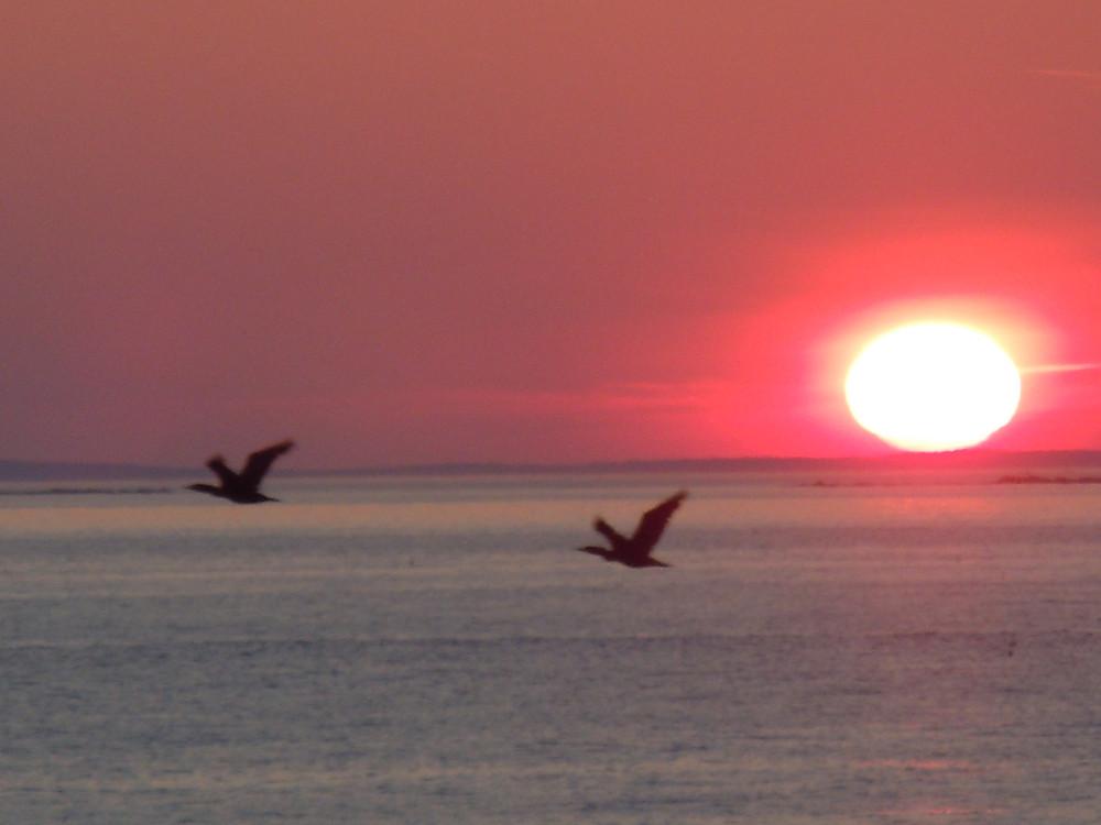 Double-crested Cormorants.JPG