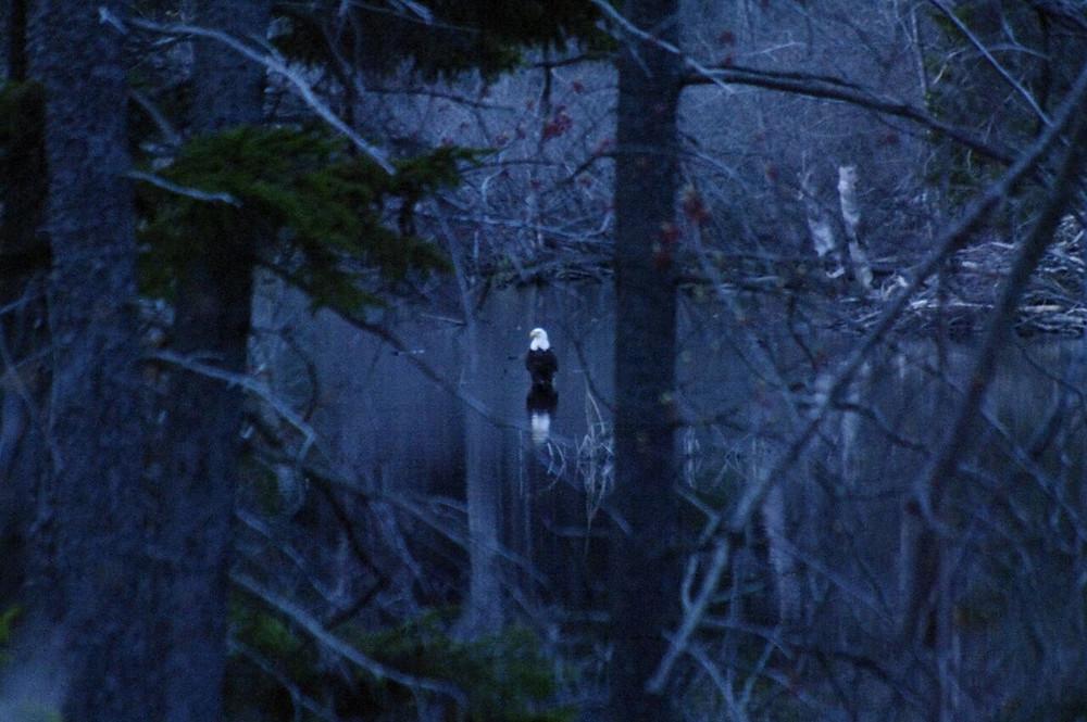 Butch's Bald Eagle Brackett Pond.jpg