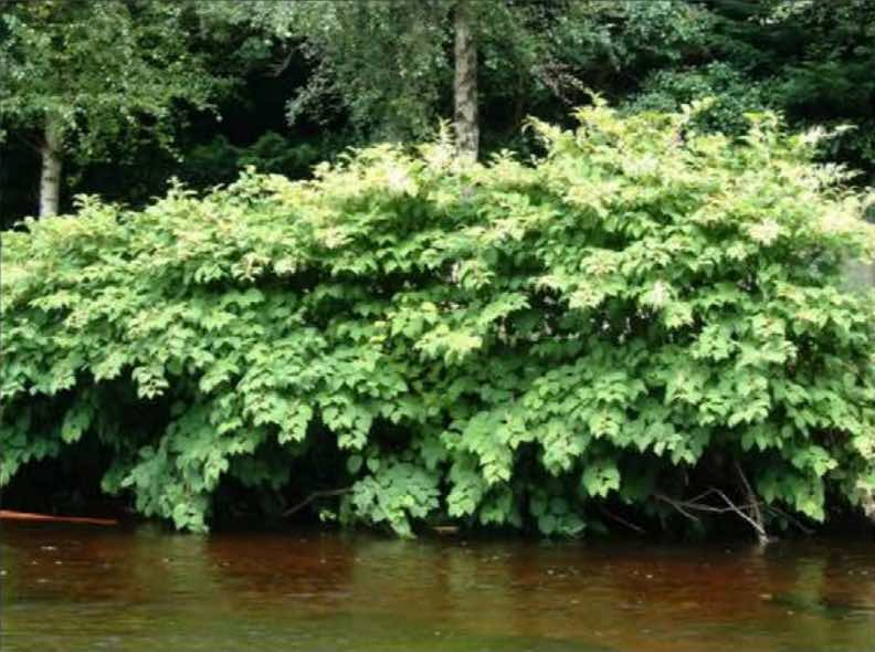 large patch of knotweed along a riverbank