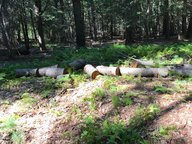 Remains of downed trees sawn into logs