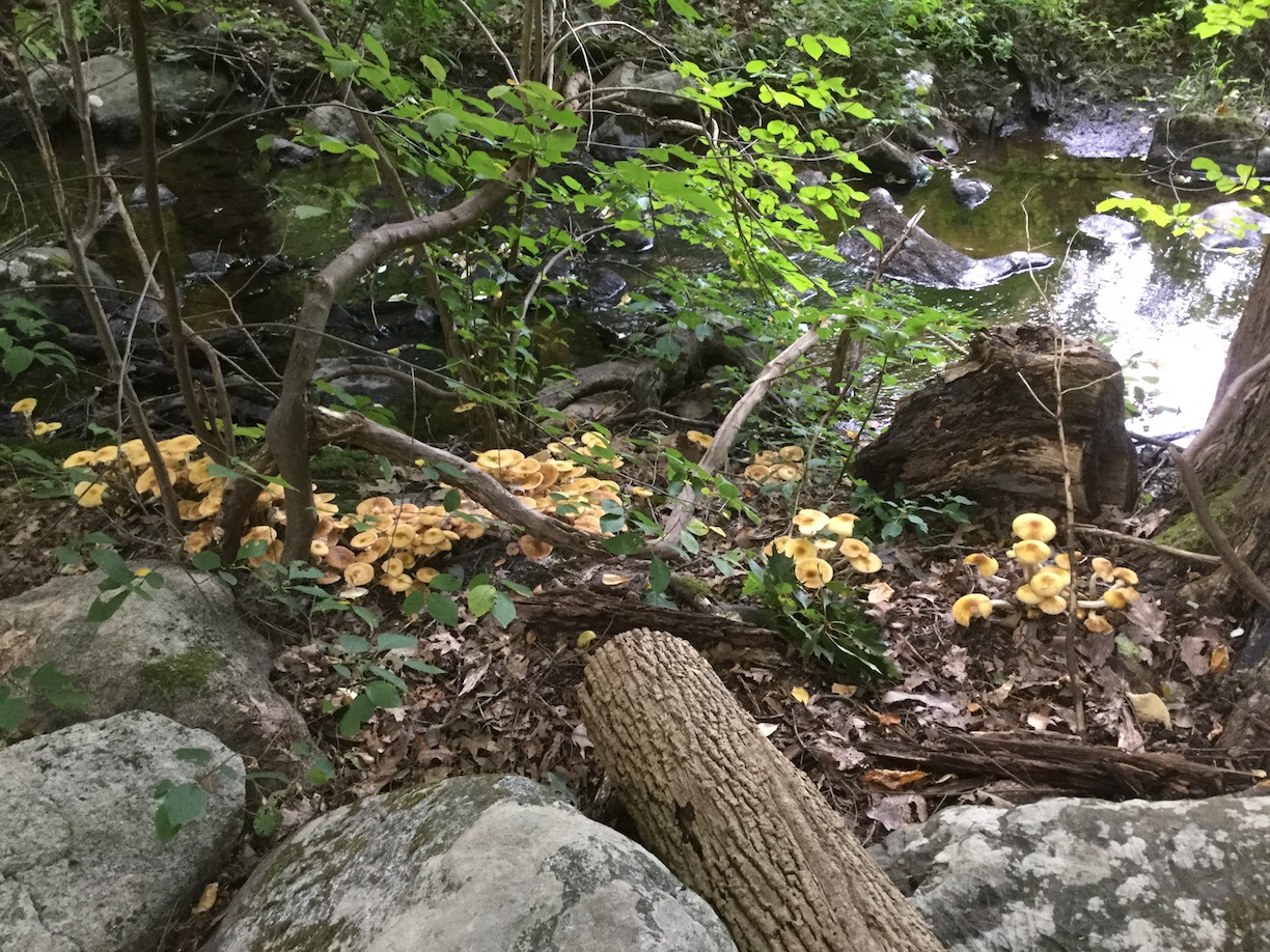 Big patch of tan mushrooms by stream near Willow Road Trail