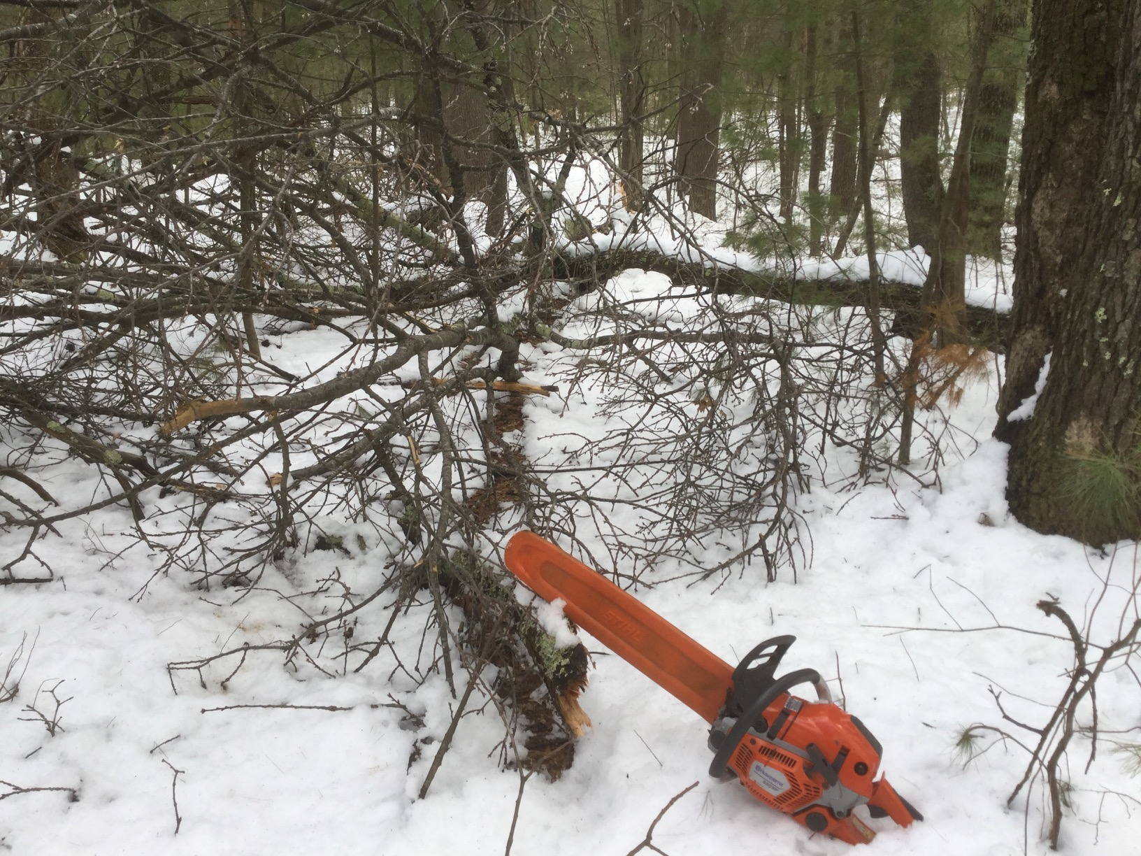crown of fallen tree on snowy ground, with chainsaw