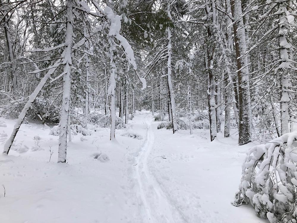 ski trail through snowy conifer woods