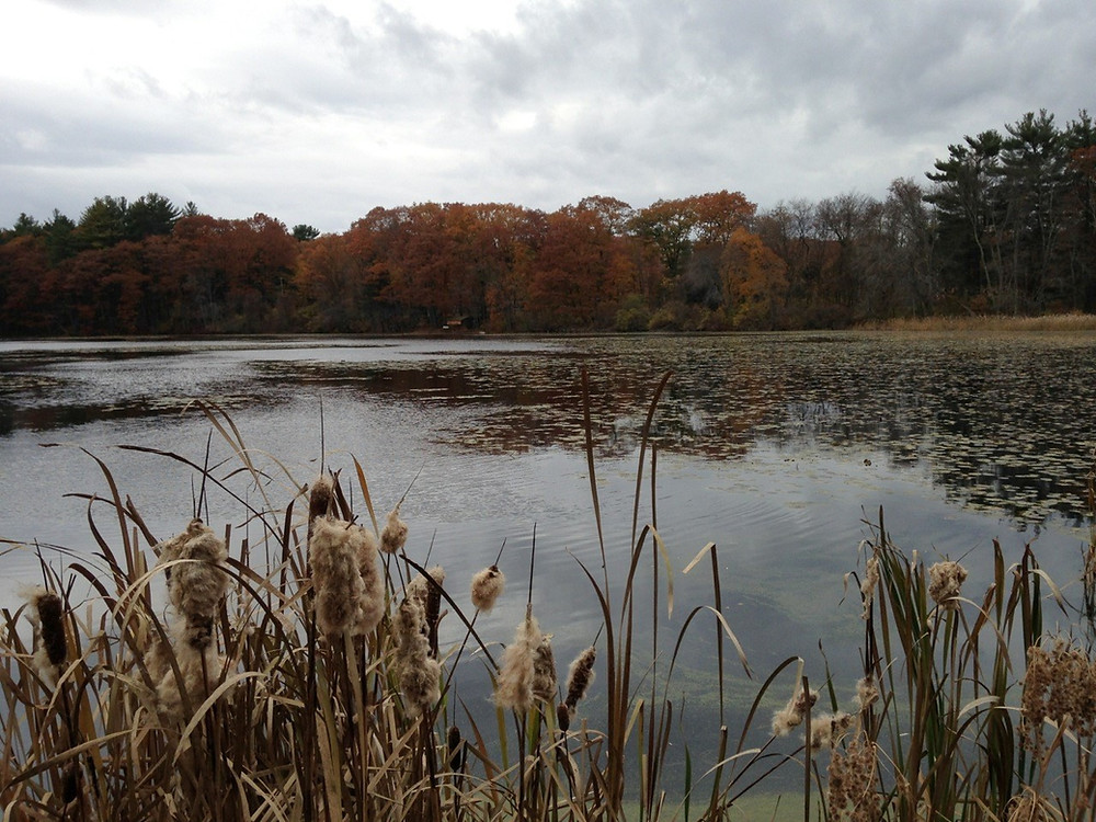 College Pond with cattails in foreground