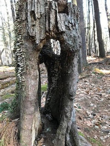 tree trunk with large holes going all the way through