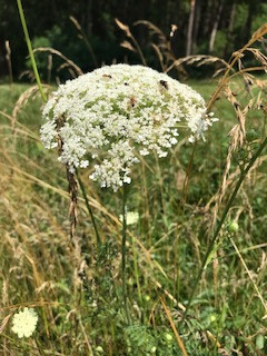 Queen Anne's lace in bloom in a field