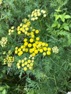 cluster of dozens of tansy flowers in various stages of blooming