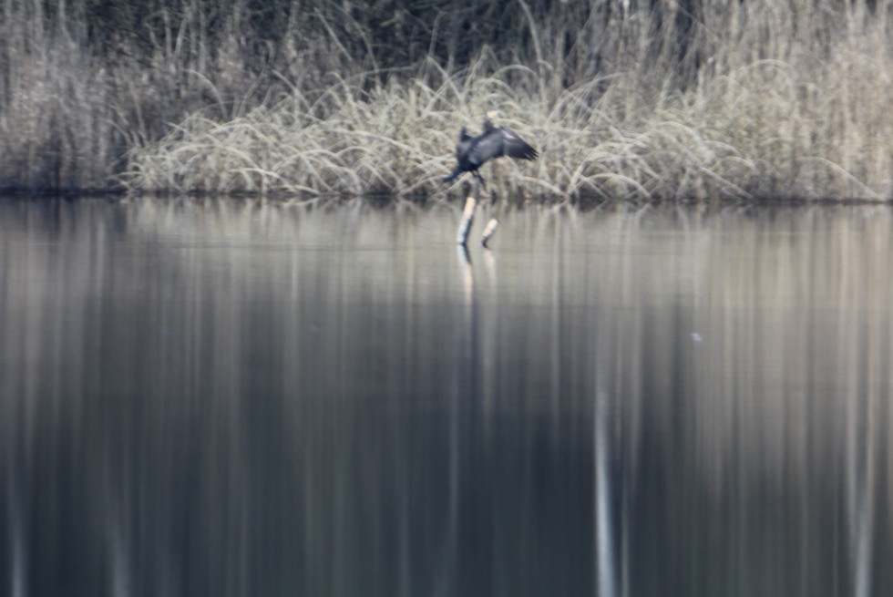 Cormoran am Obersee