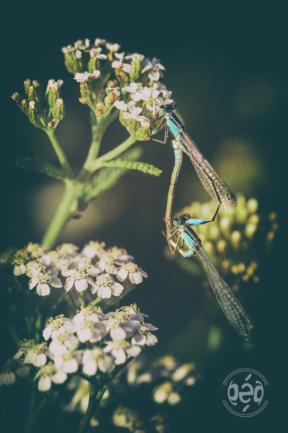 libellules