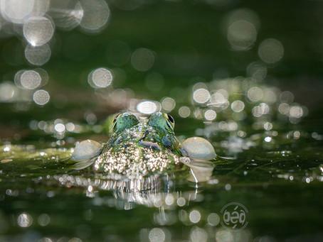 Les grenouilles coassent ...