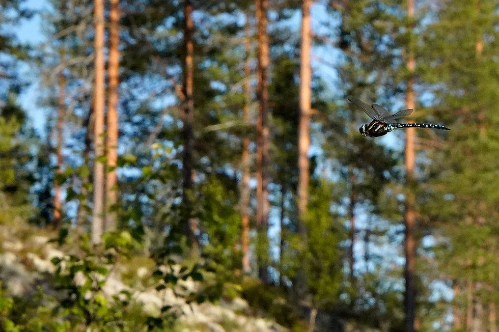_DSC2574_øyenstikker-furuskog-1020.jpg