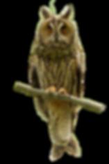 Hornugle - Asio otus