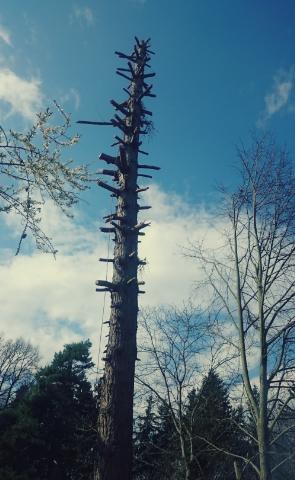 Kácení starého stromu