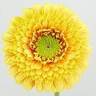Germini gelb-rot Sponge Bob 5_bearbeitet