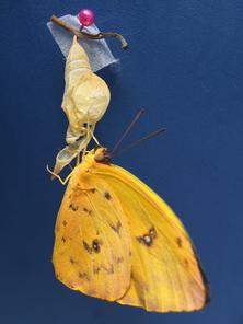 Mariposa 7.png