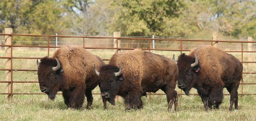 Bison at Midewin Tallgrass Prairie