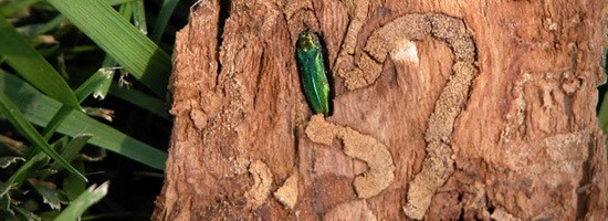 The Emerald Ash Borer, showing damage inside a tree.